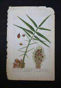 Elizabeth Blackwell 1737-39 Hand-Colored Botanical Engraving The Oily-Palm Tree