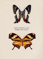 Beautiful Vintage BUTTERFLY Print Italian Flag Butterfly Insect Print 1853