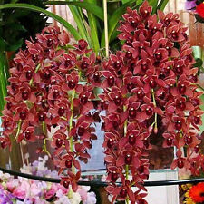 100PCS Chinese Cymbidium Orchid Flower Seeds Indoor Home Window Potted Bonsai