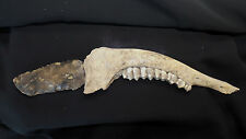 Ancient Woodland Deer Jaw Bone &Teeth Knife Handle & Flint/Chert Blade Missouri