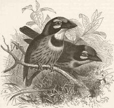 PICARIAN BIRDS. Crimson-breasted barbet -after Keulemans 1894 old print