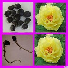 GOLDEN COLUMBINE-Giallo QUEEN-AQUILEGIA chrysantha 300 Semi-Fiore RARA