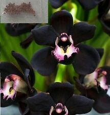 10x noire Cymbidium faberi graines Orchidée de fleurs Plant NEUF RARE #216
