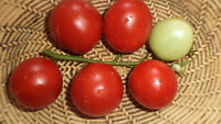 Lukullus Tomate Tomaten Samen neue Ernte 2020  bio Anbau Nr.62