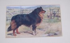 Antique 1910 Matted Framed Postcard Scotch Collie Black Tan Rough Dog Drummond