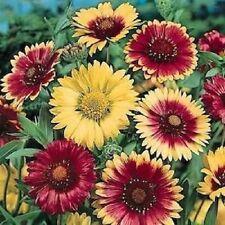 30+ GAILLARDIA MONARCH MIX FLOWER SEEDS / RARELY OFFERED  PERENNIAL