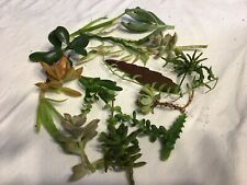 10 Succulent Cuttings-Nice Variety From Florida Pro Grower