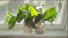 Golden Pothos 2 Small Cuttings  / House Plant / Indoors Plant / Air Purifier