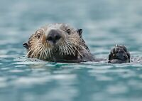 A1  Sea Otter Poster Print Size 60 x 90cm Animal Poster Wall Art Gift #14162