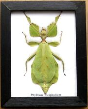 Real Beetle Walking Leaf Insect Display PHYLLIUM Taxidermy Bug in Wood Frame