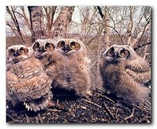 Great Horned Owlets (Owls) Wild Bird Picture Wall Decor Art Print Poster (16x20)