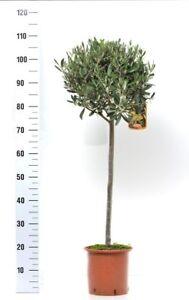 Olea Europaea Olivenbaum Hochstamm 80-100 cm