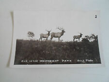RARE Vintage RP Postcard - Elk In The Wainwright Park ~ Bell Photo Circa 1910