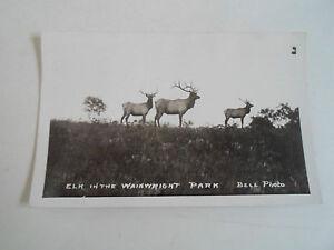 RARE Vintage RP Postcard - Elk In The Wainwright Park ~ Bell Photo Circa 1910