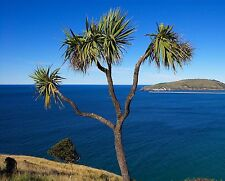 50 Seeds - Torbay Palm / Cabbage Palm  (Cordyline australis)