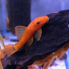 Bristlenose Super red Pleco tropical fish