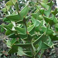 "Unusual, rare ""Anchor Plant""! - Leaf-less Colletia paradoxa - Seeds"