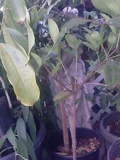 Grumichama Cherry - Nice Plant 2 Feet Tall
