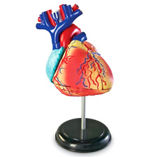 Model Heart Anatomical Human Anatomy Medical Study Organ Science Class Body NEW