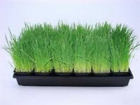 Cat Grass- 100 Seeds - - BOGO 50% off SALE
