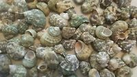 Lot of 6 oz Green Turbo  Shells for Crafts, Coastal Decor