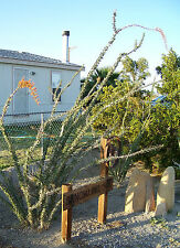 25 Seeds, Ocotillo, Fouquieria splendens, Exotic Cactus Candlewood Jacob's Staff