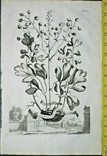 Leontopetalon capitatum, Abraham Munting,rare&large Engraving,1696 #816