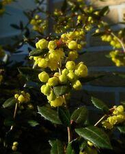 BERBERIS JULIANAE. ( custom restriction in usa sorry.) 25 seeds