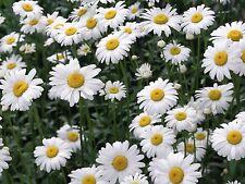 German Chamomile1500 Medicinal Herb Seeds Soothing Tea Edible Flowers Hair Tonic