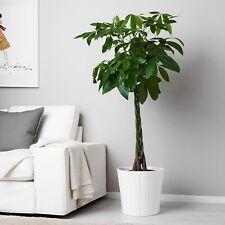 Pachira Aquatica / Money Tree/ Indoor Plant Braided Stem 40-50cm in 12cm Pot
