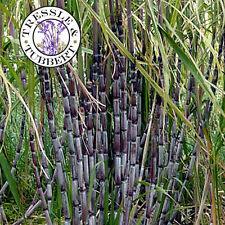 Rare Noir canne à sucre, Sorgho Noir Ambre - 5 graines-Vendeur Britannique