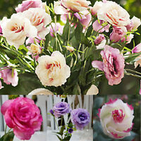 200 Samen Eustoma Grandiflorum Blumen Saatgut Seeds Chinesische Glockenblume Neu
