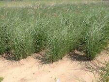 Miscanthus sinensis 'Gracillimus' Siergras 5 stuks