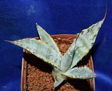 Agave NEOMEXICANA  'Sunspot' Variegated cacti succulents