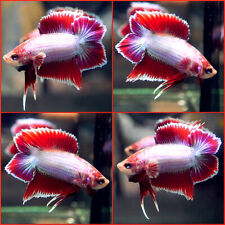 New listing Live Betta Fish Dragon Lilac Purple Red Double Tail Plakat Dtpk Male A883