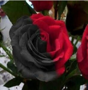 10 pcs Rare Amazingly Beautiful Half black and red Rose flower Seeds