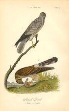 Rare 1888 Antique Audubon Bird Print ~ Marsh Hawk  ~ Excellent Details!