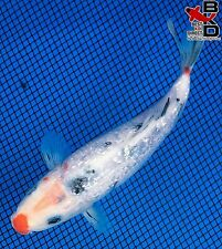 "6"" Gin Rin Clown Nose Sanke Live Koi Fish Pond Garden Bkd"