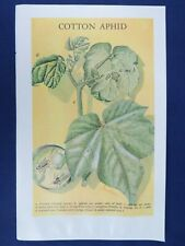 Vintage Color Plate Cotton Aphid Honeydew Winged Female Entomology Insect Print