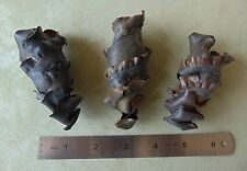3pc Real HORN SHARK EGG CASE Heterodontus francisci Mermaids Purse cases in USA