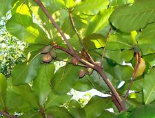 3 Seeds Terminalia chebula Chebulic Myrobalan Haritaki Tree Ornamental Overstock