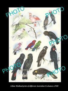 LILIAN MEDLAND VINTAGE PRINT OF AUSTRALIAN BIRDS 16x11 COCKATOO BREEDS