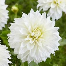 Dahlia Bulbs/Tubers Lots of Colors! Flower