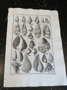 Shells, Index testarum conchyliorum, GUALTIERI, Niccolo, Florence 1742 Pl # 26