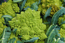 Brokkoli Romanesco - Broccoli - 20+ Samen - SCHÖN und FEIN!