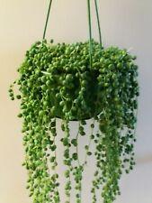 Senecio Rowleyanus. Shtring of Pearls. House plant. 3 x cuttings. 15 -20 cm long