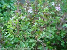 Thai Basilikum  Siam Queen 50 frische Samen RARITÄT  AROMATISCH