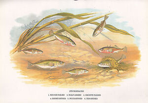 VINTAGE FACSIMILE FISH PRINT ~ STICKLEBACKS ROUGH-TAILED SPINED etc A. F. LYDON