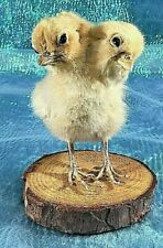 R32 Taxidermy 2 Headed Chicken Display chick bizarre Gaff Curousity Cabinet