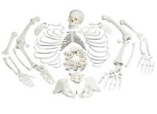 NEW 3B Scientific Human Disarticulated Full Skeleton A05/1